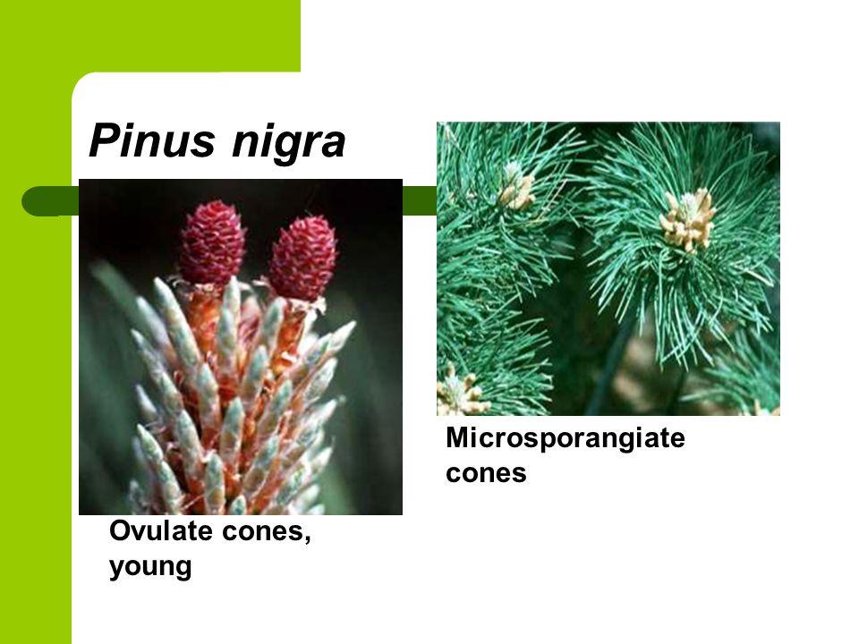 Pinus nigra Ovulate cones, young Microsporangiate cones