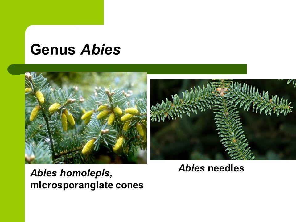 Genus Abies Abies homolepis, microsporangiate cones Abies needles