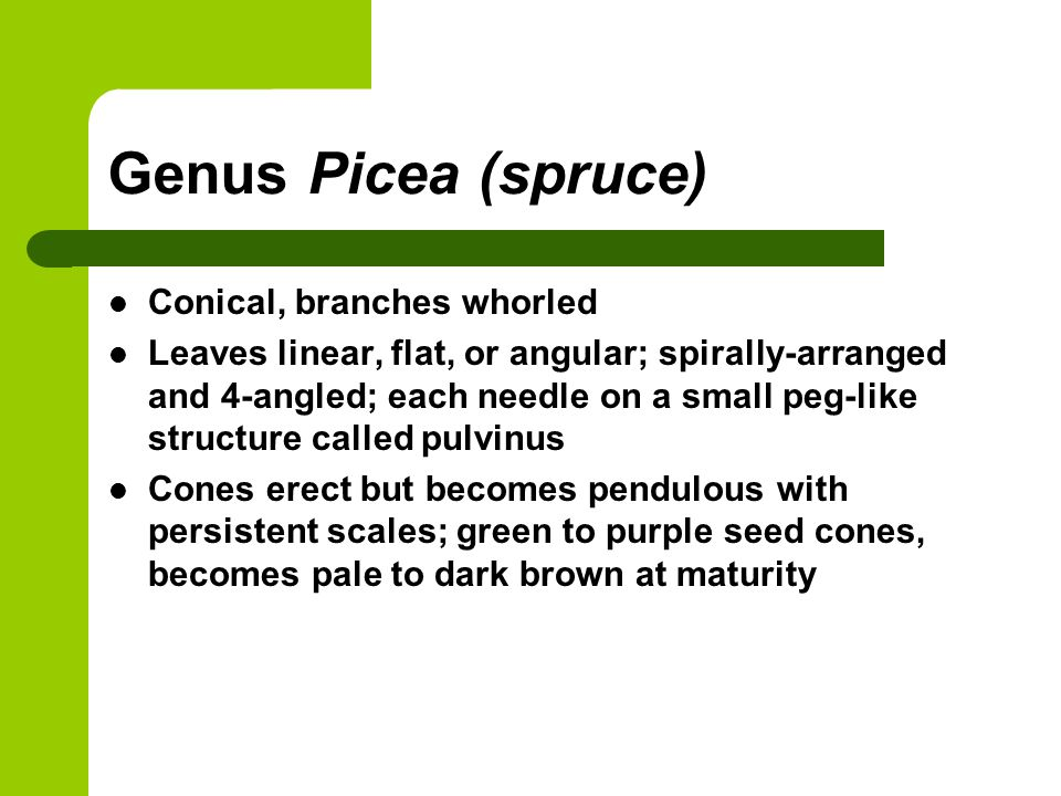 Genus Picea (spruce) Conical, branches whorled Leaves linear, flat, or angular; spirally-arranged and 4-angled; each needle on a small peg-like struct