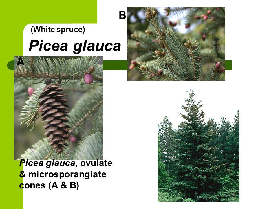 Picea glauca Picea glauca, ovulate & microsporangiate cones (A & B) B A (White spruce)