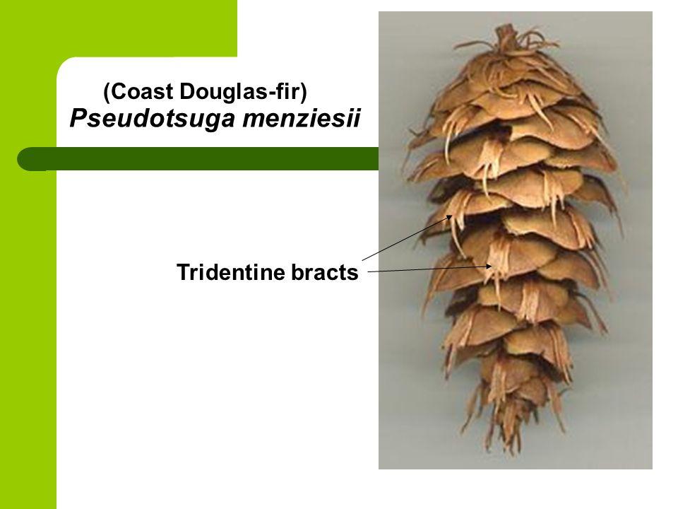 Pseudotsuga menziesii (Coast Douglas-fir) Tridentine bracts