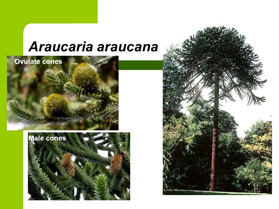 Araucaria araucana Ovulate cones Male cones
