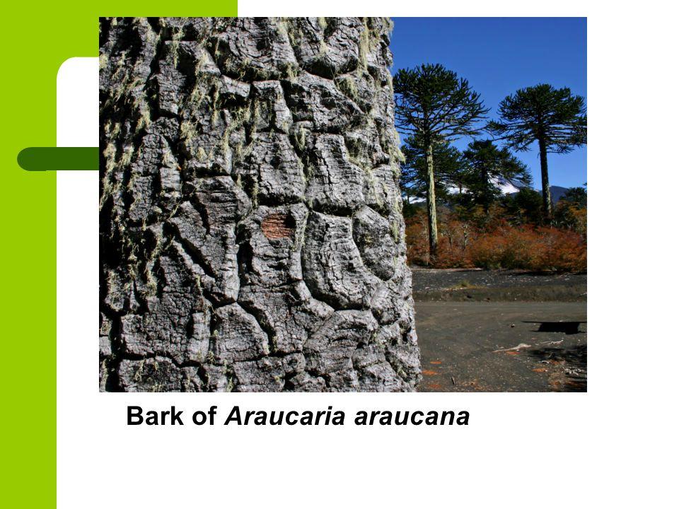 Bark of Araucaria araucana