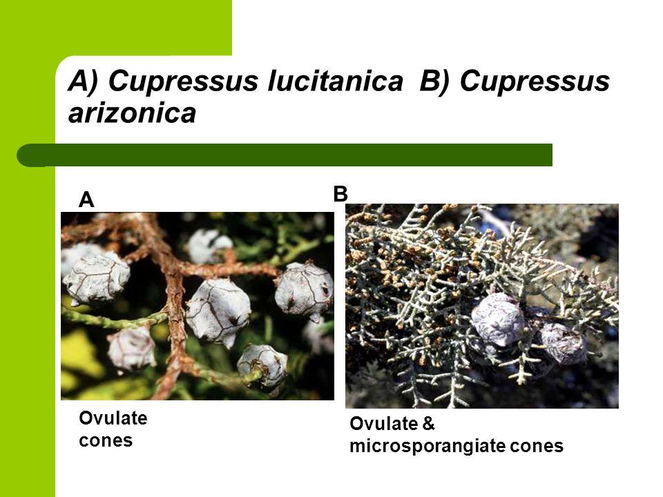 A) Cupressus lucitanica B) Cupressus arizonica A B Ovulate & microsporangiate cones Ovulate cones