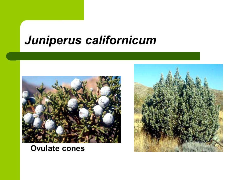 Juniperus californicum Ovulate cones