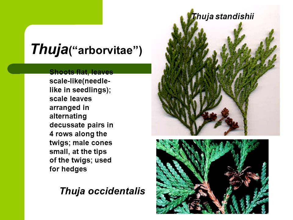"Thuja (""arborvitae"") Thuja occidentalis Shoots flat, leaves scale-like(needle- like in seedlings); scale leaves arranged in alternating decussate pair"