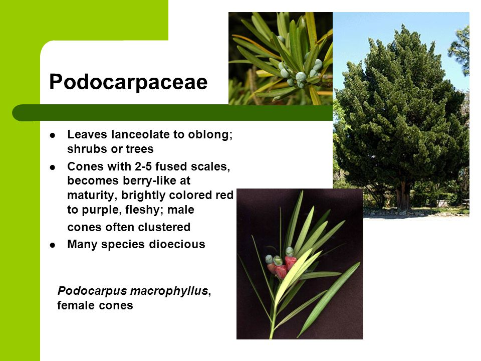 Podocarpaceae Leaves lanceolate to oblong; shrubs or trees Cones with 2-5 fused scales, becomes berry-like at maturity, brightly colored red to purple