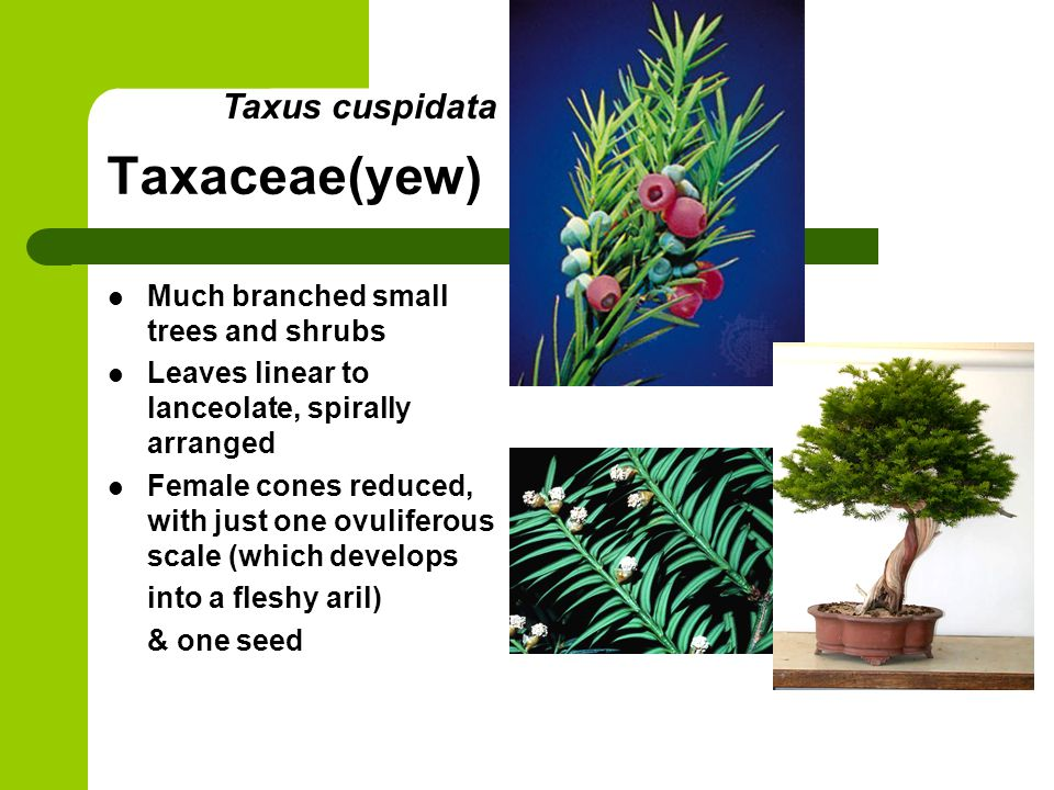 Taxaceae(yew) Much branched small trees and shrubs Leaves linear to lanceolate, spirally arranged Female cones reduced, with just one ovuliferous scal