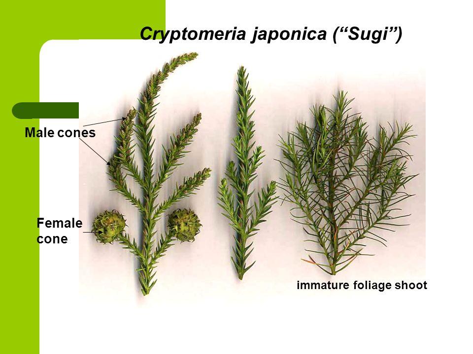 Cryptomeria japonica ( Sugi ) Female cone Male cones immature foliage shoot
