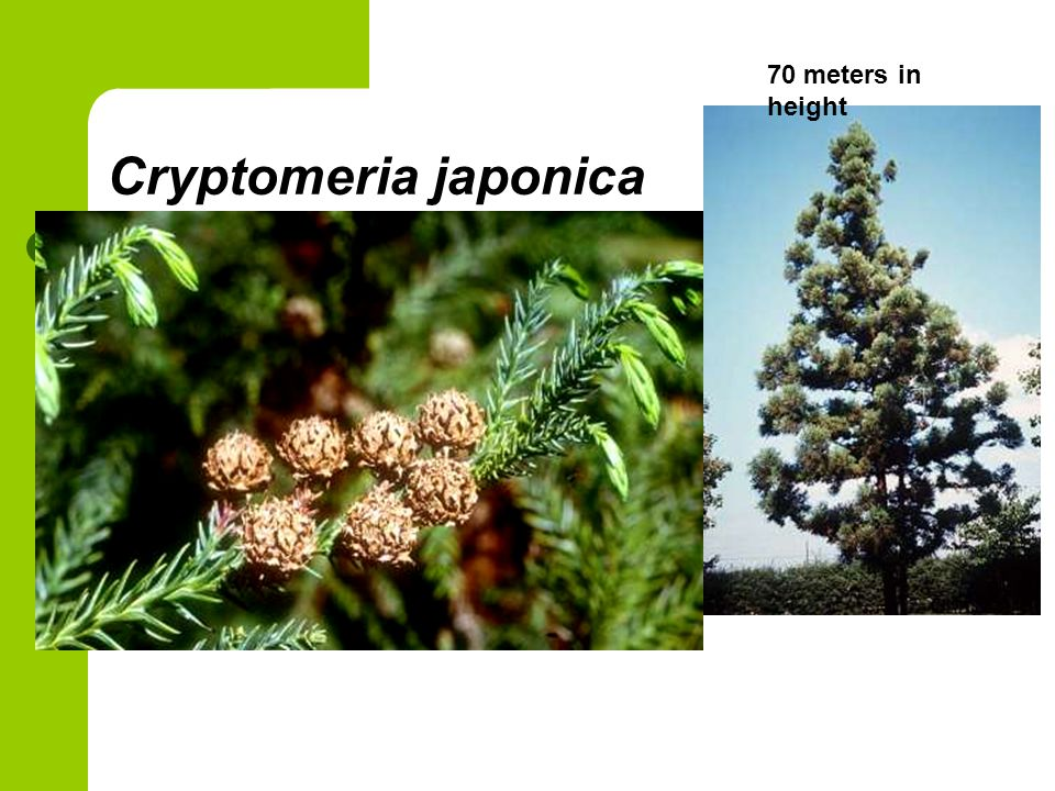 Cryptomeria japonica 70 meters in height