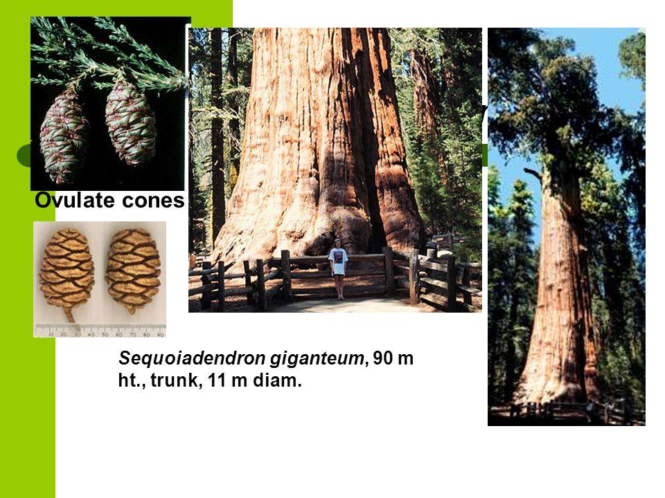 Sequoiadendron giganteum Ovulate cones Sequoiadendron giganteum, 90 m ht., trunk, 11 m diam.