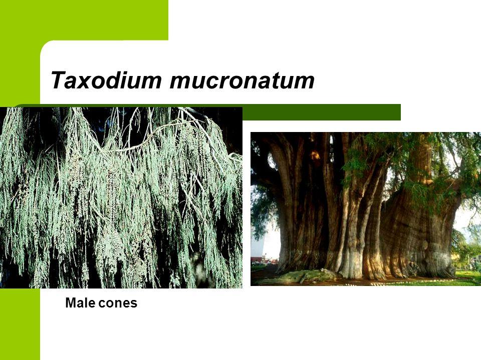 Taxodium mucronatum Male cones