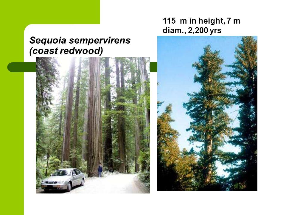 Sequoia sempervirens (coast redwood) 115 m in height, 7 m diam., 2,200 yrs