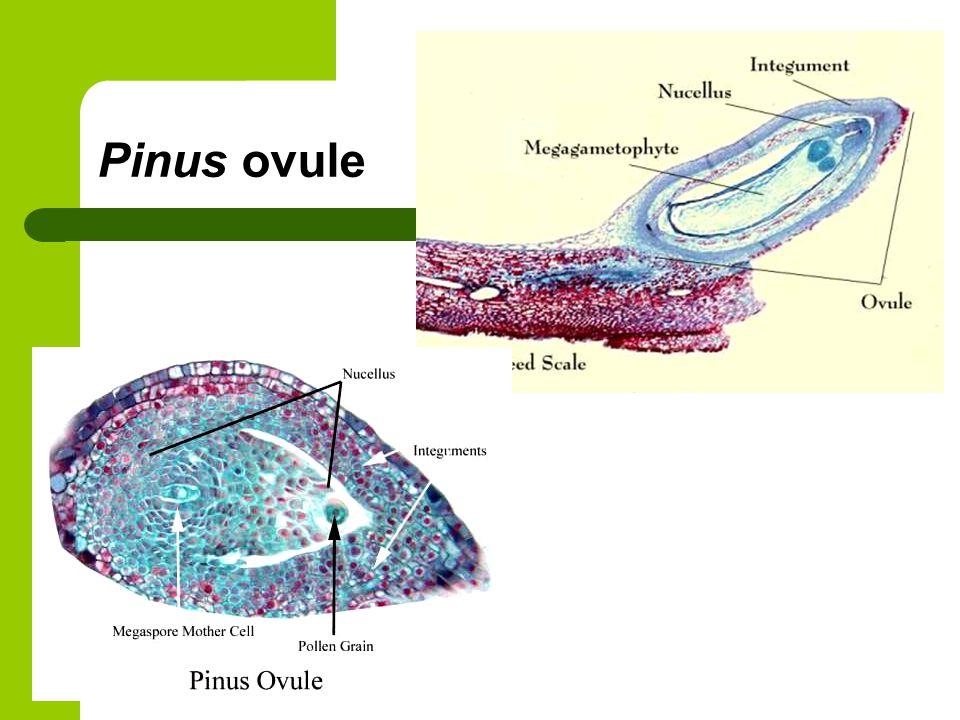 Pinus ovule