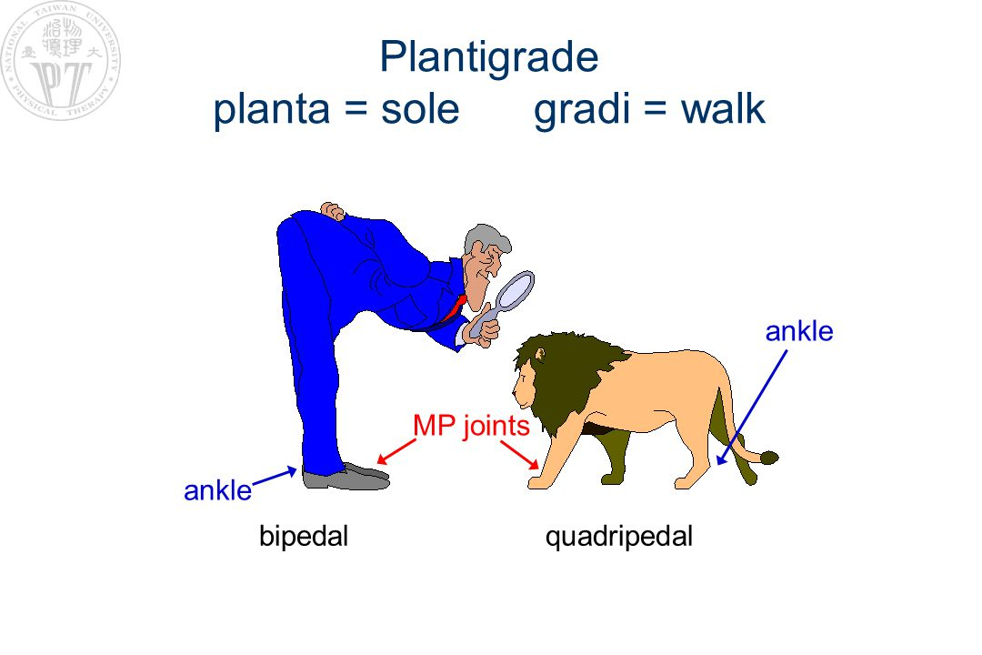 Plantigrade planta = sole gradi = walk bipedal quadripedal ankle MP joints