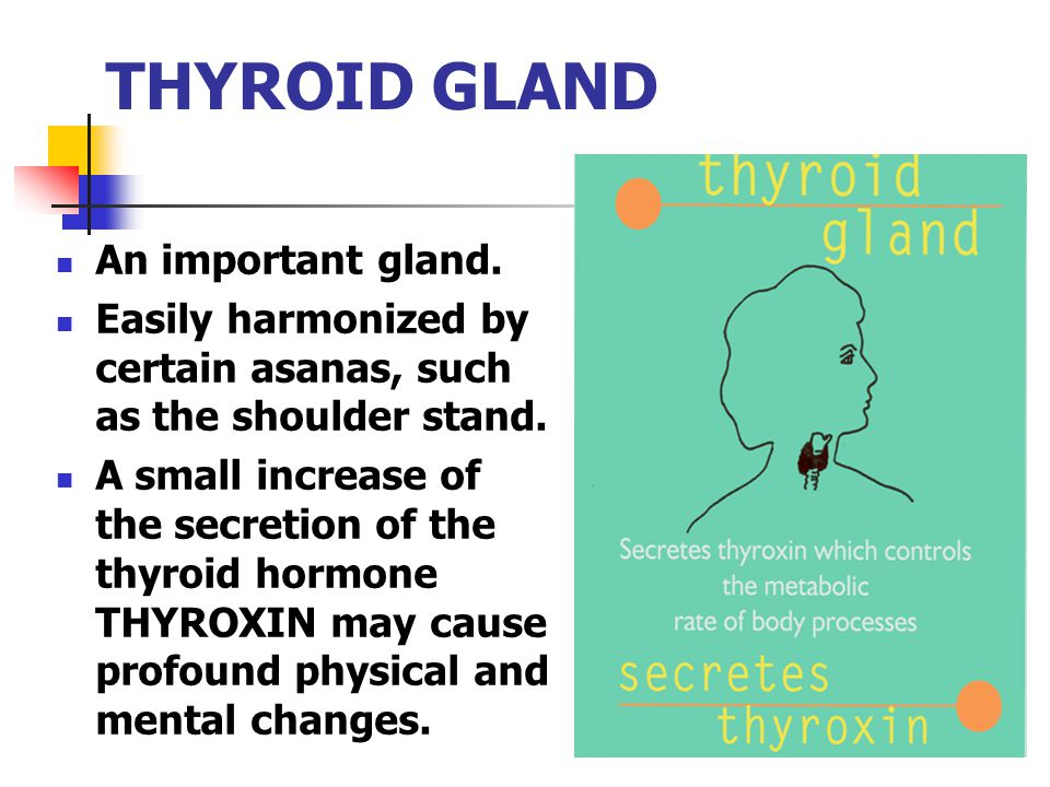 THYROID GLAND An important gland. Easily harmonized by certain asanas, such as the shoulder stand. A small increase of the secretion of the thyroid ho