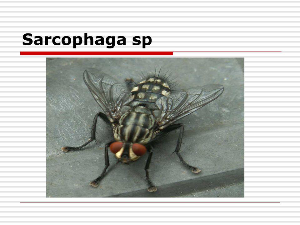 Sarcophaga sp