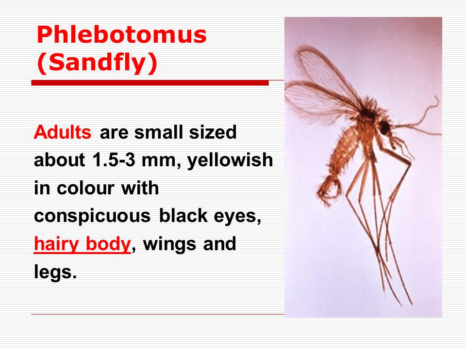 Adults are small sized about 1.5-3 mm, yellowish in colour with conspicuous black eyes, hairy body, wings and legs. Phlebotomus (Sandfly)