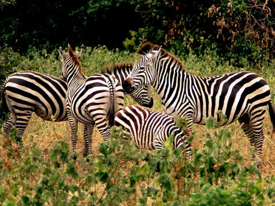 What It Eats They chew on bark.Zebras eat different kinds of grasses.
