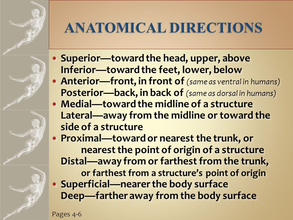 ANATOMICAL DIRECTIONS Superior—toward the head, upper, above Inferior—toward the feet, lower, below Anterior—front, in front of (same as ventral in humans) Posterior—back, in back of (same as dorsal in humans) Medial—toward the midline of a structure Lateral—away from the midline or toward the side of a structure Proximal—toward or nearest the trunk, or nearest the point of origin of a structure Distal—away from or farthest from the trunk, or farthest from a structure's point of origin Superficial—nearer the body surface Deep—farther away from the body surface Superior—toward the head, upper, above Inferior—toward the feet, lower, below Anterior—front, in front of (same as ventral in humans) Posterior—back, in back of (same as dorsal in humans) Medial—toward the midline of a structure Lateral—away from the midline or toward the side of a structure Proximal—toward or nearest the trunk, or nearest the point of origin of a structure Distal—away from or farthest from the trunk, or farthest from a structure's point of origin Superficial—nearer the body surface Deep—farther away from the body surface Pages 4-6