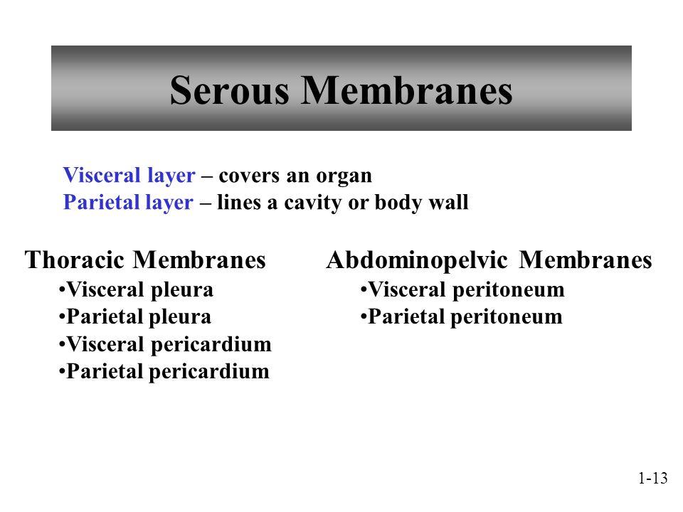 Serous Membranes Thoracic Membranes Visceral pleura Parietal pleura Visceral pericardium Parietal pericardium Visceral layer – covers an organ Parieta