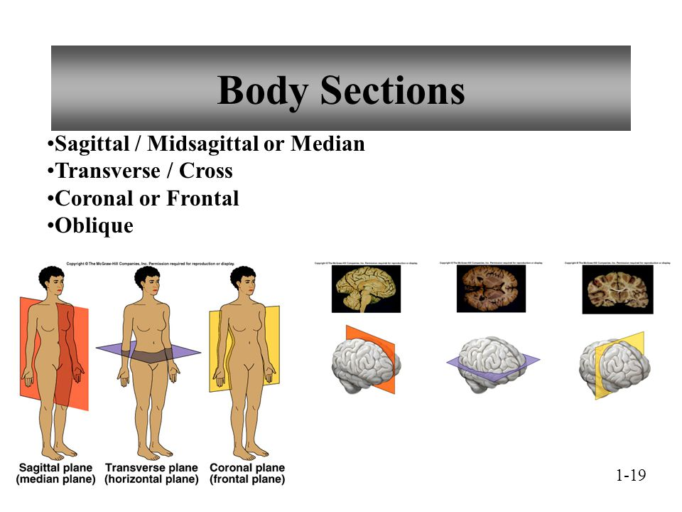 Body Sections Sagittal / Midsagittal or Median Transverse / Cross Coronal or Frontal Oblique 1-19