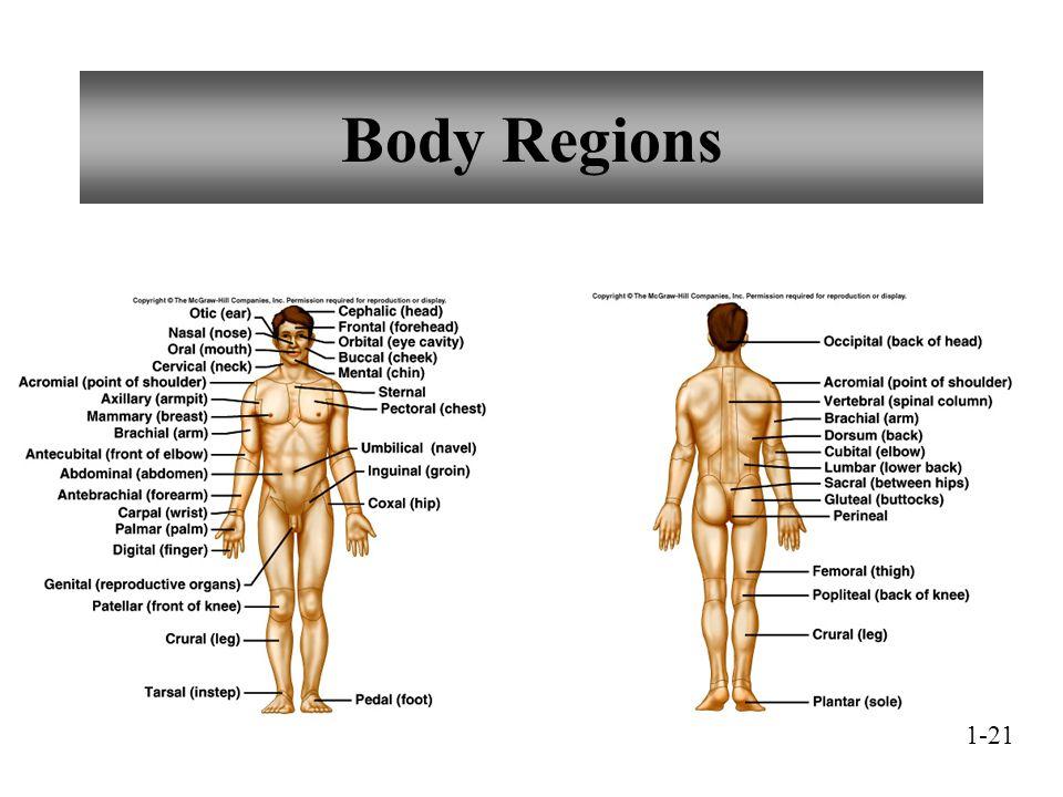 Body Regions 1-21
