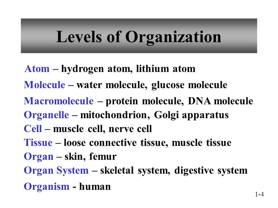 Levels of Organization Atom – hydrogen atom, lithium atom Molecule – water molecule, glucose molecule Macromolecule – protein molecule, DNA molecule O