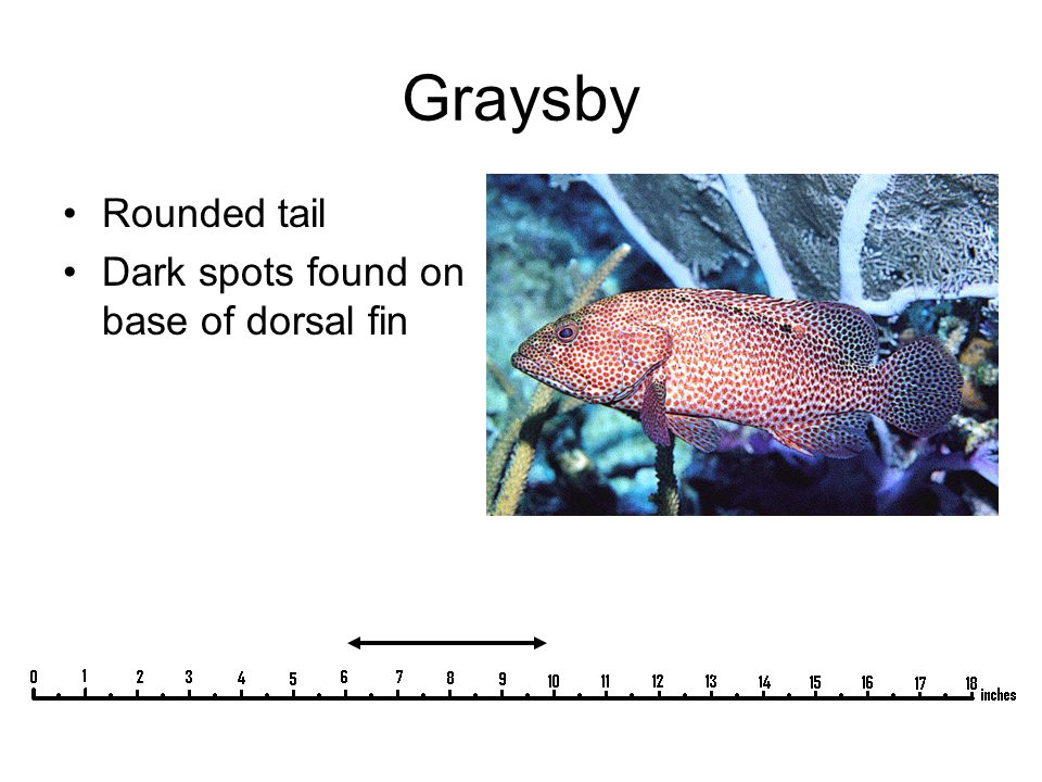Graysby Rounded tail Dark spots found on base of dorsal fin