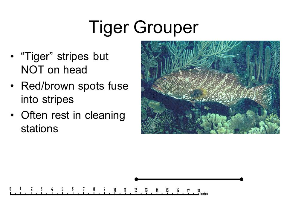 "Tiger Grouper ""Tiger"" stripes but NOT on head Red/brown spots fuse into stripes Often rest in cleaning stations"