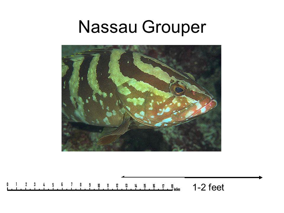 Nassau Grouper 1-2 feet