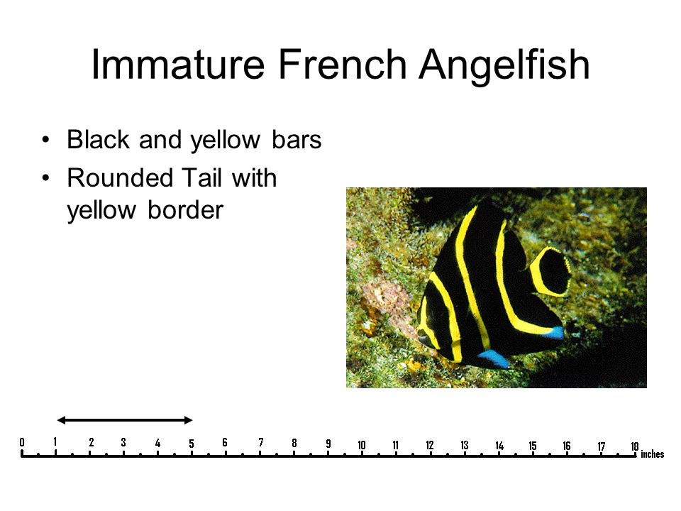 Immature French Angelfish Black and yellow bars Rounded Tail with yellow border