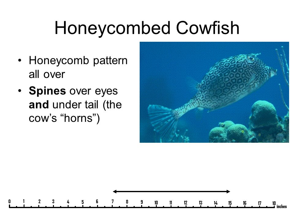 "Honeycombed Cowfish Honeycomb pattern all over Spines over eyes and under tail (the cow's ""horns"")"