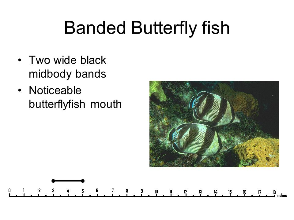 Banded Butterfly fish Two wide black midbody bands Noticeable butterflyfish mouth
