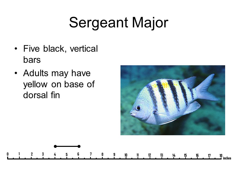 Sergeant Major Five black, vertical bars Adults may have yellow on base of dorsal fin