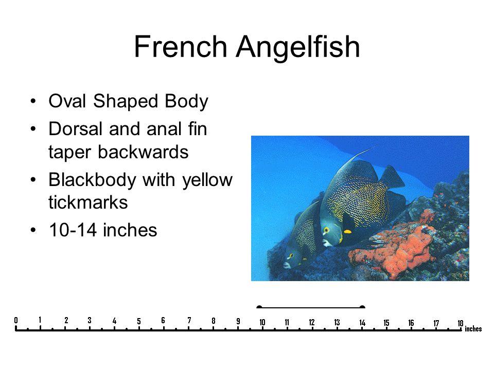 Indigo Hamlet Hamlet forehead; straight slope from dorsal fin to lips Blue body with white bars