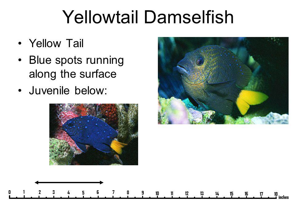 Yellowtail Damselfish Yellow Tail Blue spots running along the surface Juvenile below: