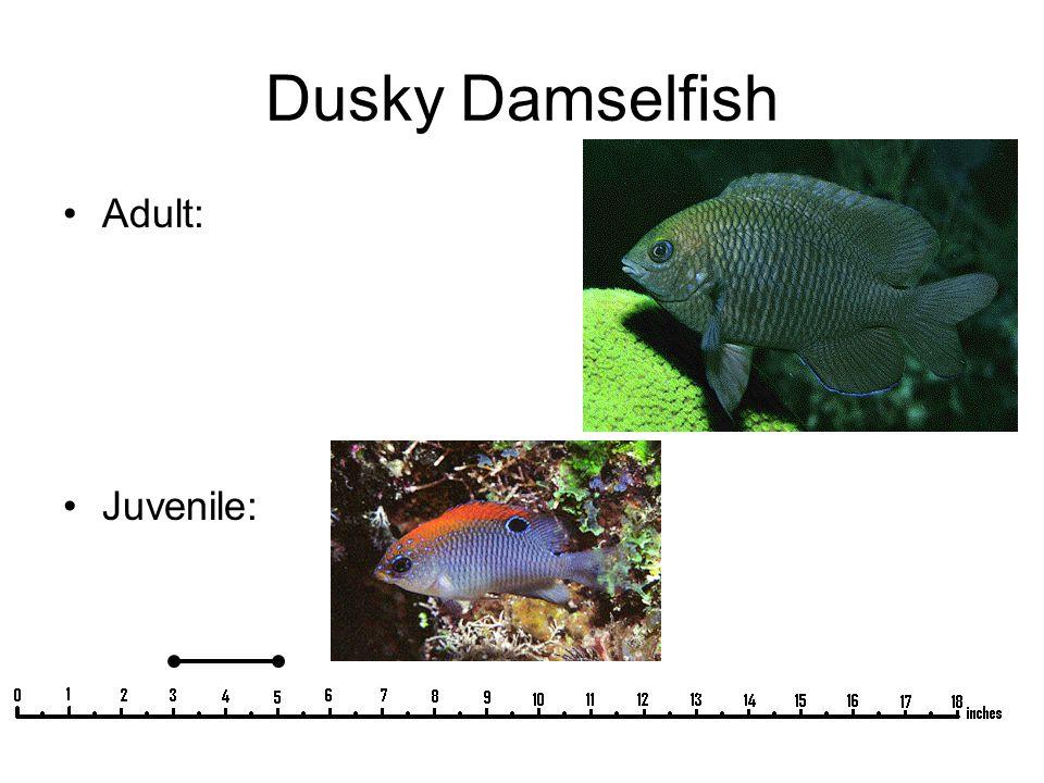 Dusky Damselfish Adult: Juvenile: