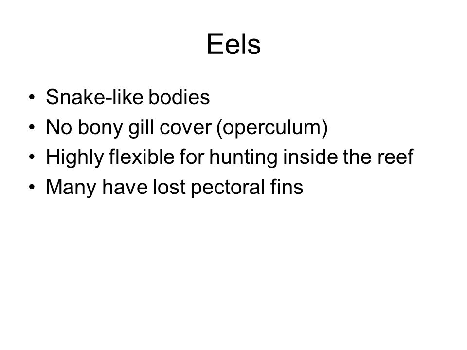 Eels Snake-like bodies No bony gill cover (operculum) Highly flexible for hunting inside the reef Many have lost pectoral fins