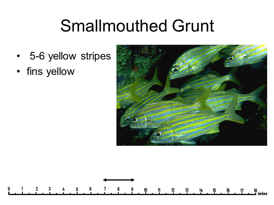 Smallmouthed Grunt 5-6 yellow stripes fins yellow