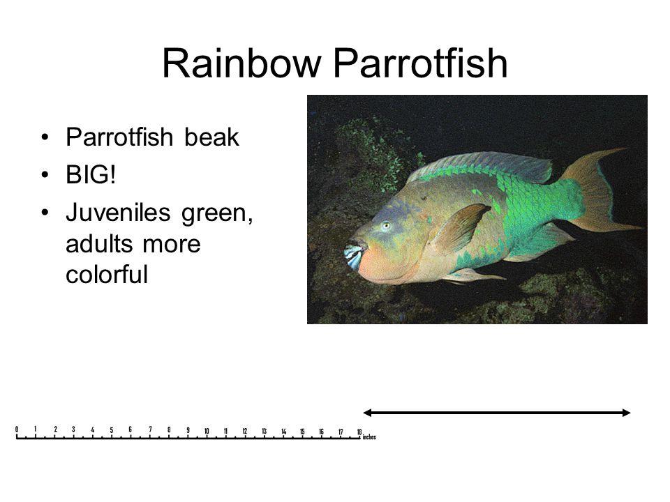 Rainbow Parrotfish Parrotfish beak BIG! Juveniles green, adults more colorful