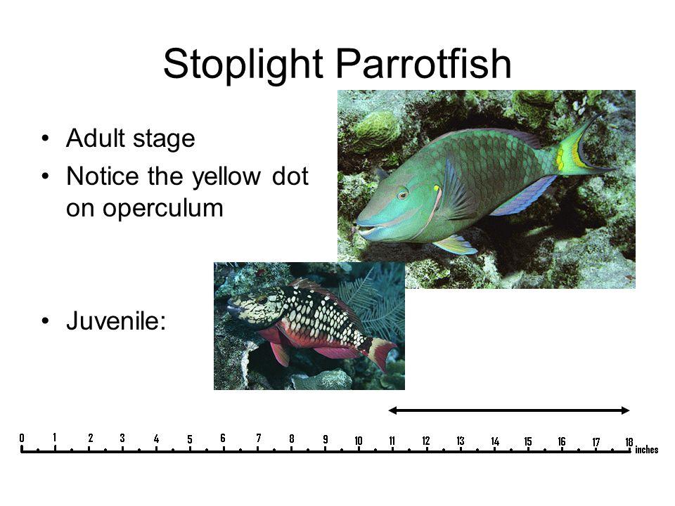 Stoplight Parrotfish Adult stage Notice the yellow dot on operculum Juvenile: