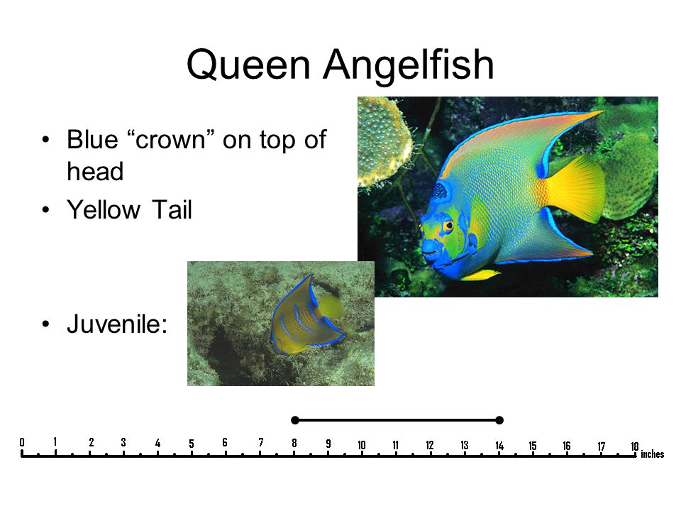 "Queen Angelfish Blue ""crown"" on top of head Yellow Tail Juvenile:"