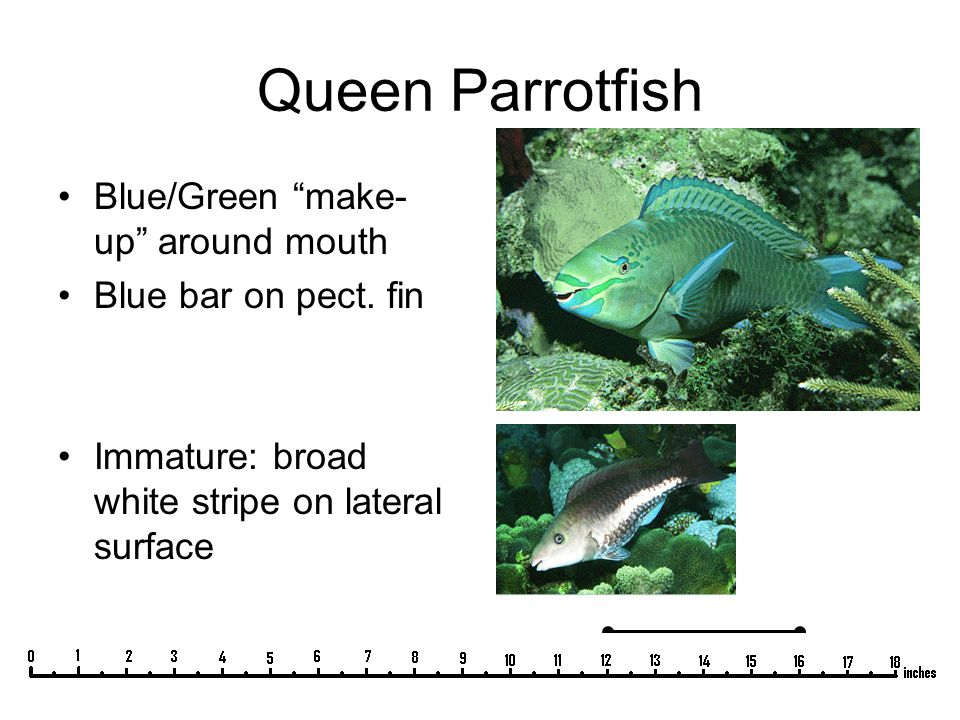 "Queen Parrotfish Blue/Green ""make- up"" around mouth Blue bar on pect. fin Immature: broad white stripe on lateral surface"
