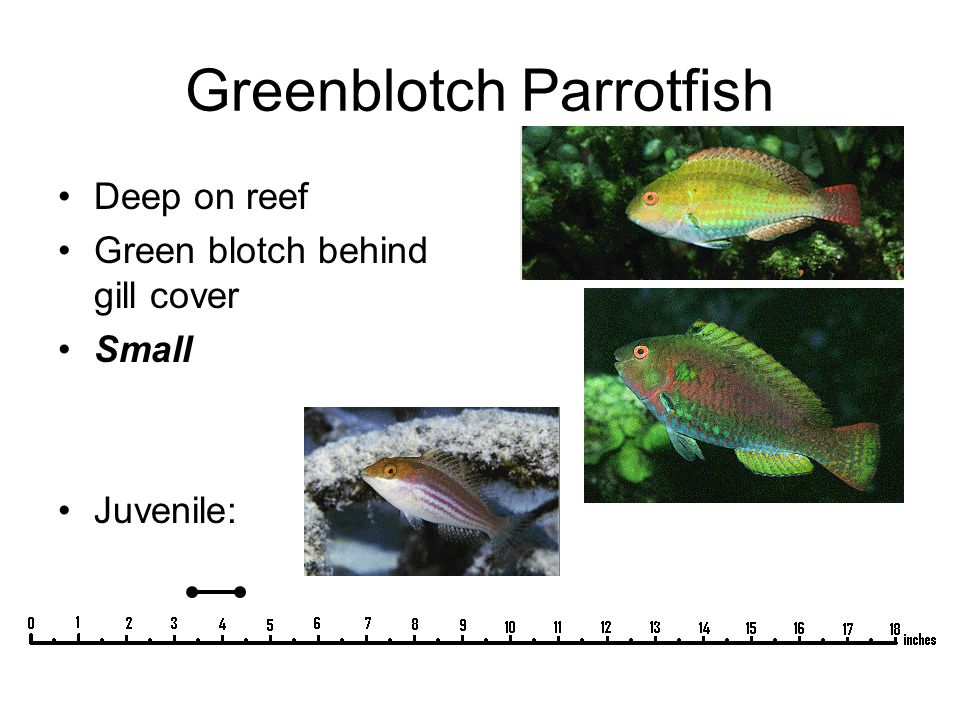 Greenblotch Parrotfish Deep on reef Green blotch behind gill cover Small Juvenile: