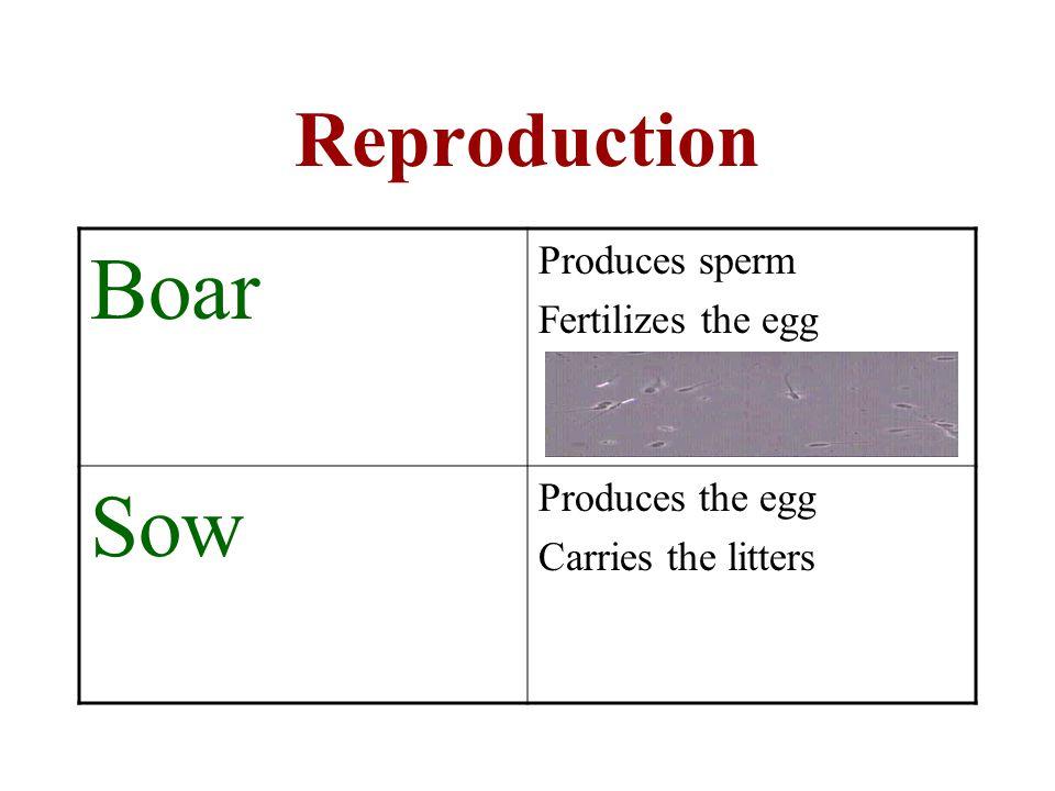 Reproduction Boar Produces sperm Fertilizes the egg Sow Produces the egg Carries the litters
