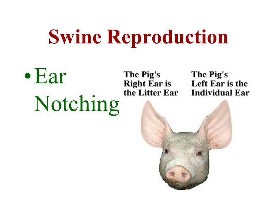Swine Reproduction Ear Notching