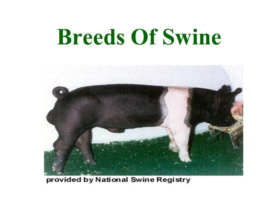 Breeds Of Swine