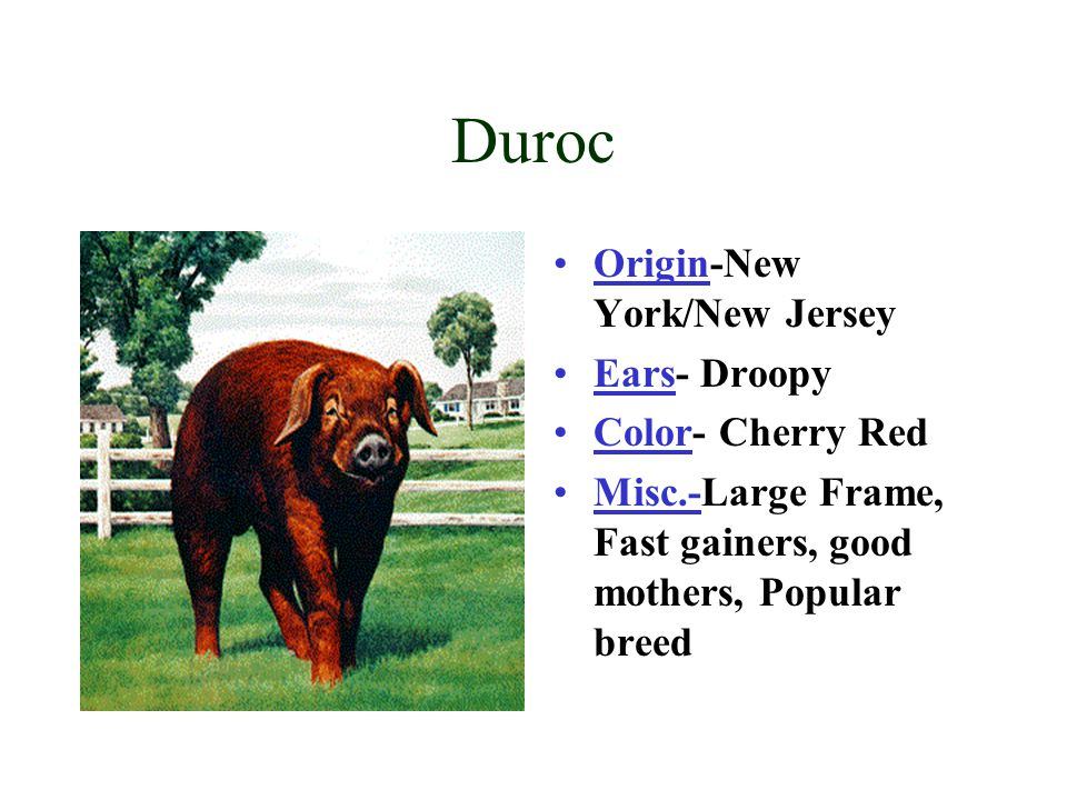 Duroc Origin-New York/New Jersey Ears- Droopy Color- Cherry Red Misc.-Large Frame, Fast gainers, good mothers, Popular breed