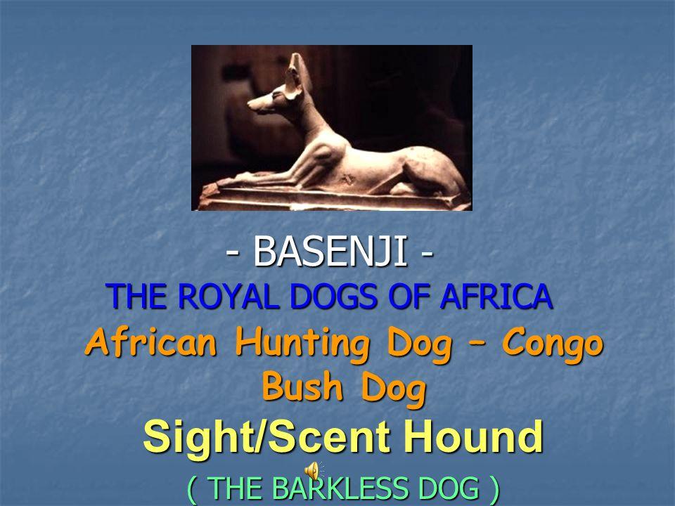 - BASENJI - THE ROYAL DOGS OF AFRICA African Hunting Dog – Congo Bush Dog Sight/Scent Hound ( THE BARKLESS DOG )